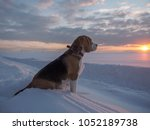 Beagle Dog On A Walk At Sunset...