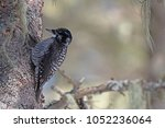 Small photo of A male american three-toed woodpecker climbing it's way up a balsam fir.