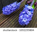 flowering close up blue... | Shutterstock . vector #1052255804