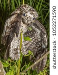Small photo of Night bird Common Potoo (Nyctibius griseus) holding on to a tree branch in weird position, in the Atlantic Rainforest, countryside of Rio de Janeiro near Guapiacu, Brazil