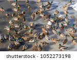 a lot of wild ducks walk on ice ... | Shutterstock . vector #1052273198