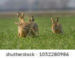 european brown hare  lepus... | Shutterstock . vector #1052280986