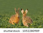 european brown hare  lepus... | Shutterstock . vector #1052280989