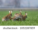 Stock photo european brown hare lepus europaeus 1052287859