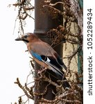 Small photo of This is an eurasian jay.