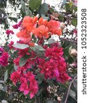 Small photo of Bougainvillea pink and orange color flowers and green leaves. This tree also known as Santa Rira, buganvilla.