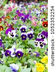 Small photo of Multicolor pansy flowers or pansies blooming in spring garden