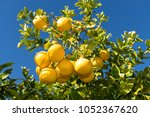Grapefruit Tree With Clusters...