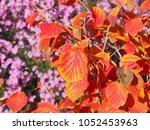 witch hazel   hamamelis 'diane' ... | Shutterstock . vector #1052453963
