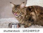 Maine Coon Cat Delicious Eats...