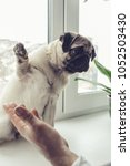 Small photo of Pug dog sits on the window sill and raises its paw as its master asks. Training dog's skills