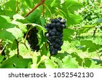 bunches of black grapes in... | Shutterstock . vector #1052542130