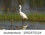 the little egret is a species... | Shutterstock . vector #1052572124