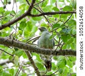Small photo of African green pigeon sitting on branch of wild fig tree, Kruger National Park