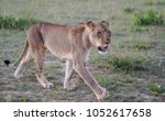 African Lioness Hunting ...