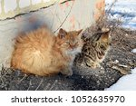 two cats   fluffy orange and... | Shutterstock . vector #1052635970