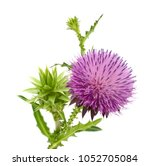 Milk Thistle Flower. Milk...