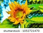 sunflower close up | Shutterstock . vector #1052721470