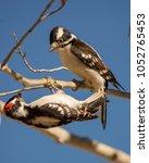 Downy Woodpecker In Aspen Tree
