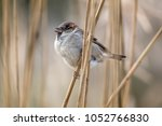 male house sparrow  passer... | Shutterstock . vector #1052766830