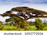 african acacia tree in misty... | Shutterstock . vector #1052772026