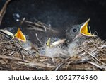 nestlings of the nightingale... | Shutterstock . vector #1052774960
