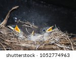 nestlings of the nightingale... | Shutterstock . vector #1052774963