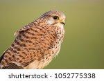 common kestrel  falco...   Shutterstock . vector #1052775338