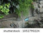 Blue Morpho Butterflies In...