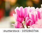 Cyclamen Flowers With Beautifu...