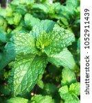 pepper mint leaves in the... | Shutterstock . vector #1052911439