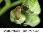 Small photo of The raspberry beetle (Byturus tomentosus) on damaged flower buds of raspberries. It is a beetles from fruitworm family Byturidae a major pest affecting raspberry, blackberry and loganberry plants.