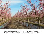 Peach orchard - Blossom Trail, Fresno, California