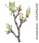 a young spring branch of a... | Shutterstock . vector #1052996240