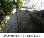 sama ma tree   ceiba pentandra ... | Shutterstock . vector #1053031118