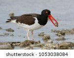 Small photo of American Oystercatcher (Haematopus palliatus) with a shell in its beak - Bonaire, Netherlands Antilles
