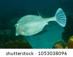 honeycomb cowfish ...   Shutterstock . vector #1053038096