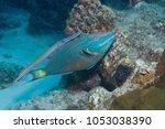 trumpetfish  aulostomus...   Shutterstock . vector #1053038390