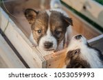 Stock photo thai bangkaew dog puppies are in the wooden box on the grass 1053059993