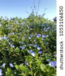 Small photo of Veronica persica of wildflowers in spring