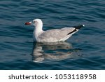 Small photo of Audouin's Gull, Ichthyaetus, An adult seagull bird swimming on blue sea. Atlantic Ocean, Morocco, Africa, October.