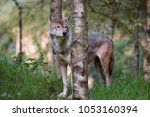 eurasian or common wolf  canis... | Shutterstock . vector #1053160394