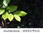 Small photo of Green leaves are brighter than those without sunlight.