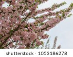 pink cherry blossoms in full... | Shutterstock . vector #1053186278