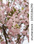 pink cherry blossoms in full... | Shutterstock . vector #1053186290