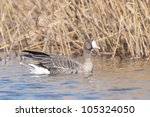 white fronted goose in winter | Shutterstock . vector #105324050