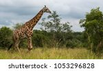 walking giraffe in south africa ... | Shutterstock . vector #1053296828