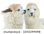 alpaca whispering at another... | Shutterstock . vector #1053299498