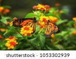 Pair Of Monarch Butterflies On...