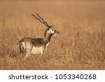 An Immature Male Blackbuck ...